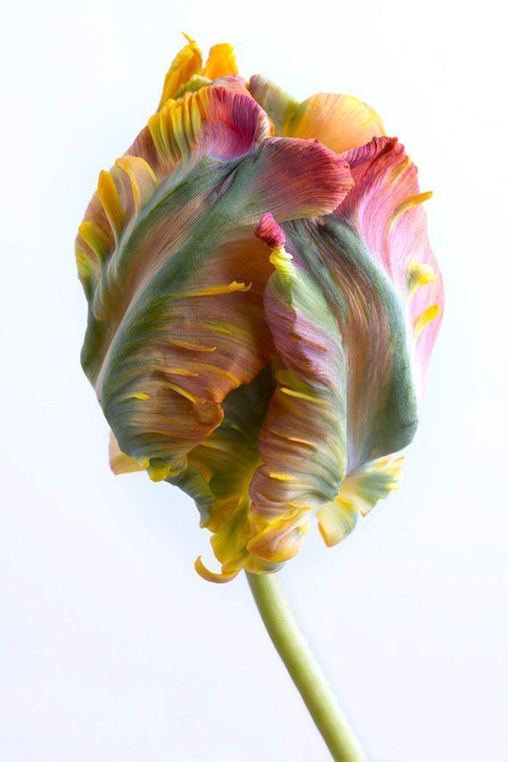 Photo of Flower Photography – Tulip Botanical Photograph, Floral Still Life Photography, Home Decor, Large Wall Art