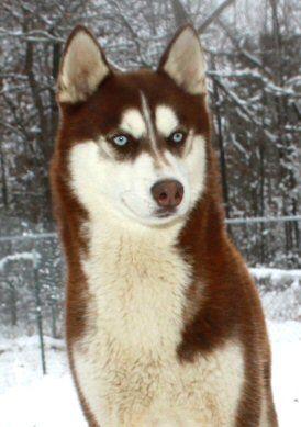 Siberian Husky Breeder Siberian Husky Siberian Husky Puppy