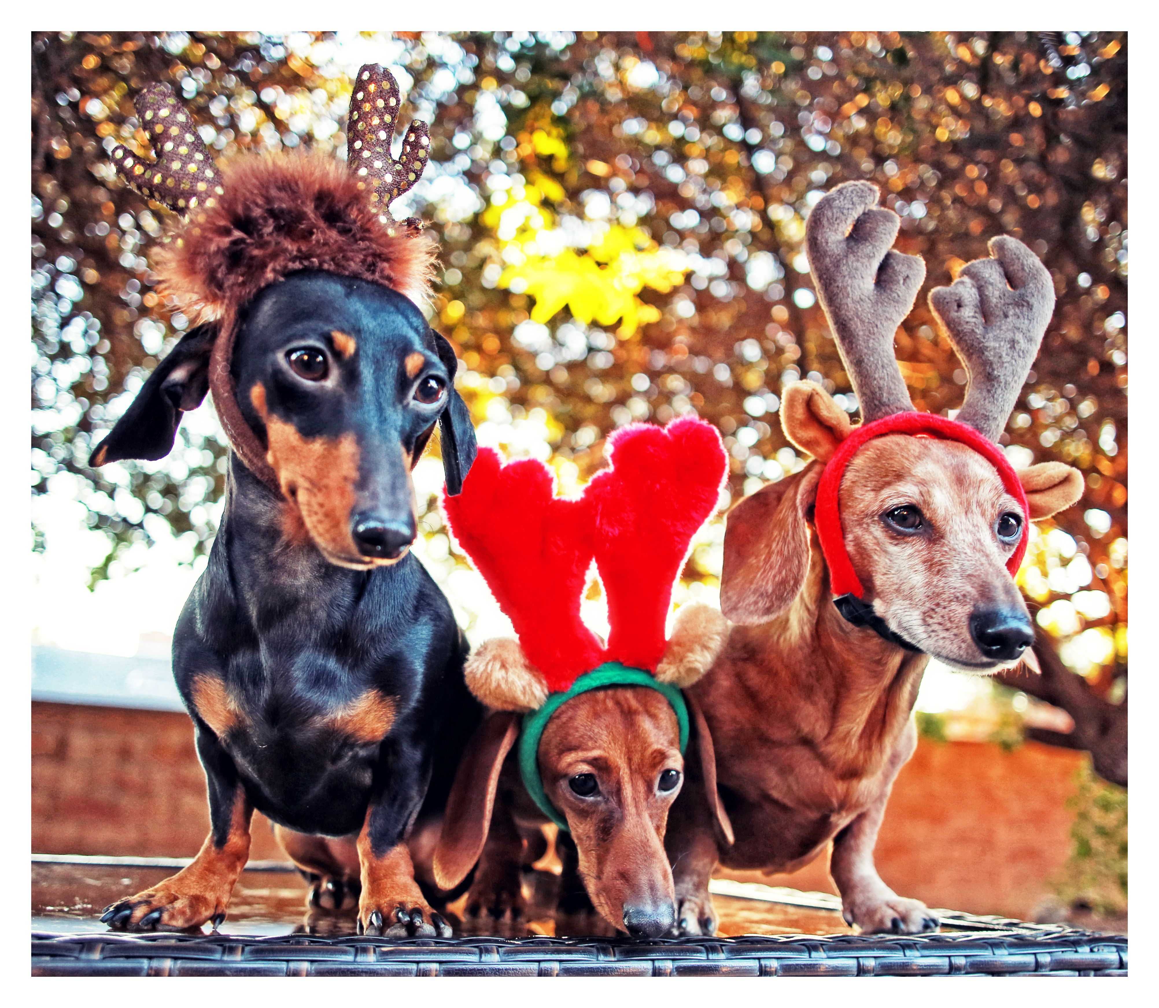 Dachshund Christmas Day Merry Christmas Card Puppy Holiday Dogs Santa Claus Dog Puppies Xmas Doxie