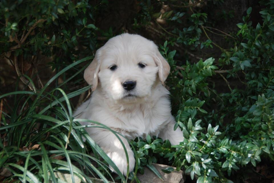 Golden Retriever Puppy Https M Facebook Com