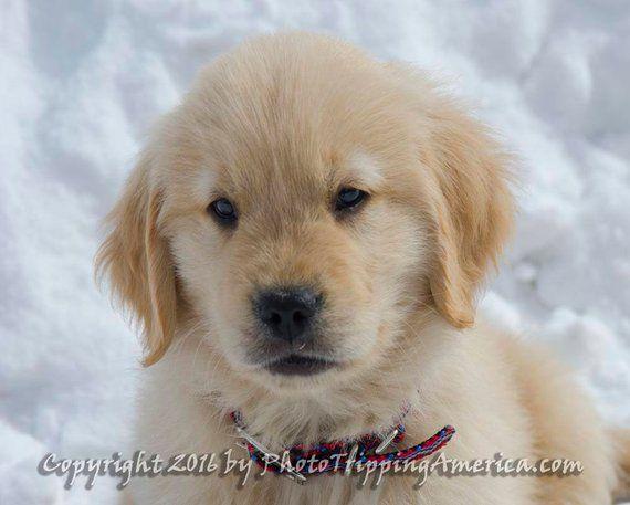 Golden Retriever Puppy In Snow Golden Retriever Puppy Golden