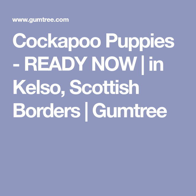 Cockapoo Puppies Ready Now In Kelso Scottish Borders Gumtree Cockapoo Puppies Cockapoo Puppies
