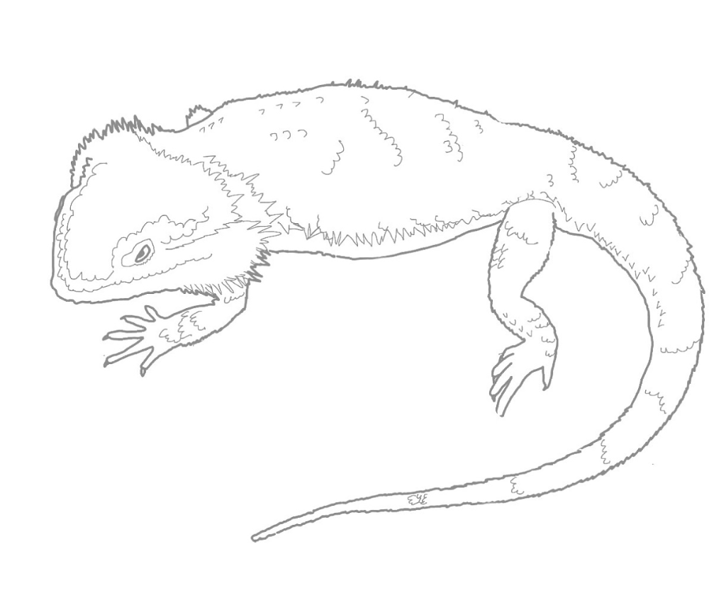 How To Draw A Bearded Dragon Bearded Dragon Lizard Step By Step Reptiles Animals Free Online Dra Cartoon Lizard Animal Coloring Pages Dragon Coloring Page