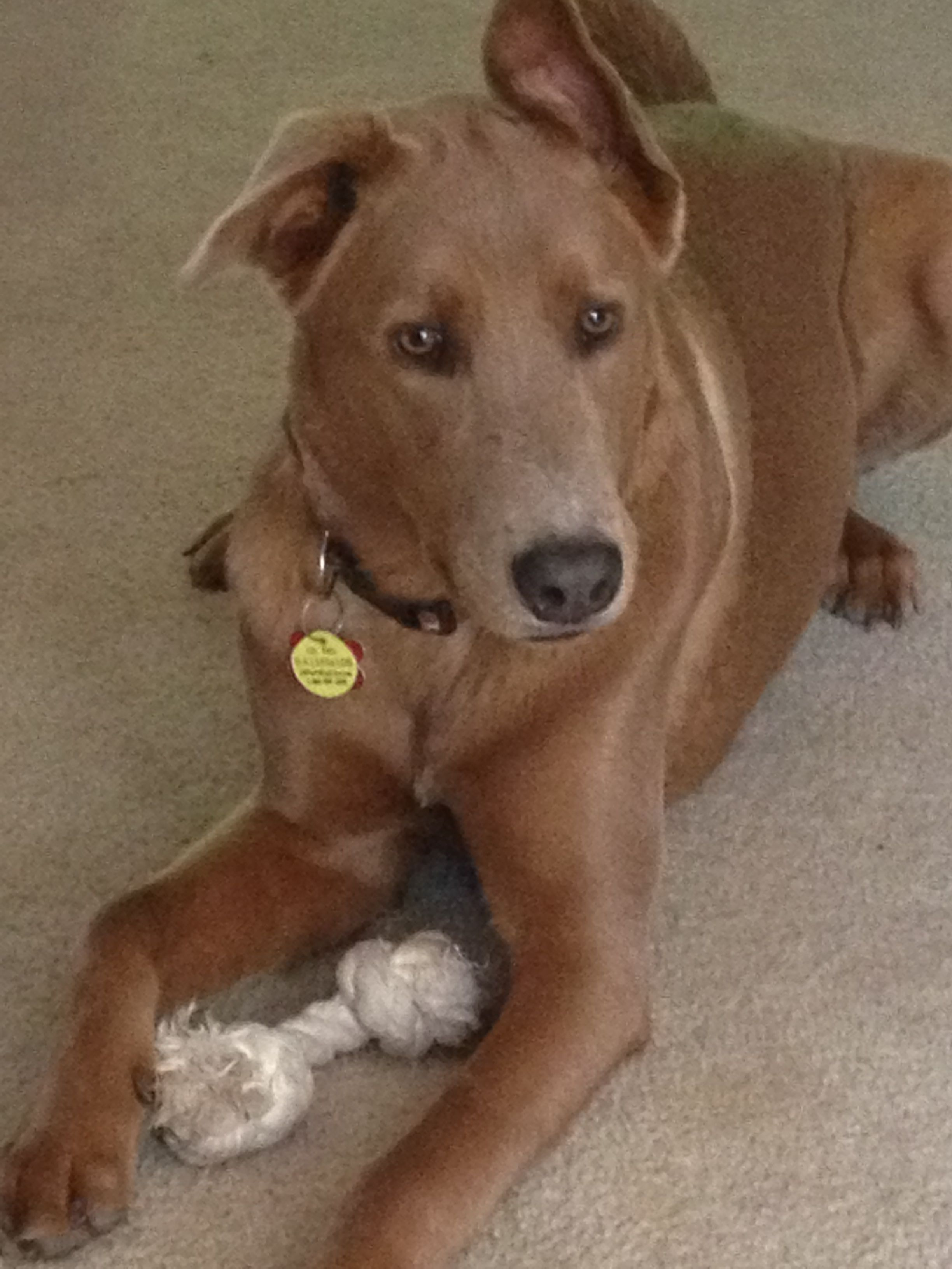 Enzo 15 Months Old Doberman Chow Chow Mix Sweetest Little