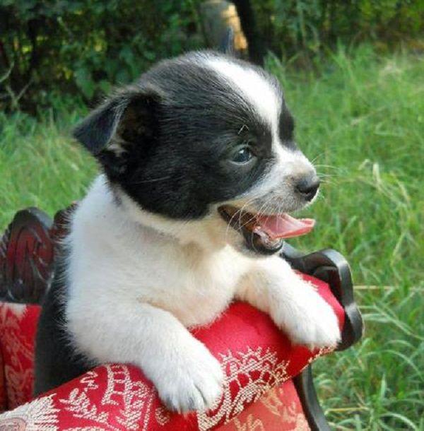 Perth Breeder Dogs Pomeranian Breeders Dogs For Sale