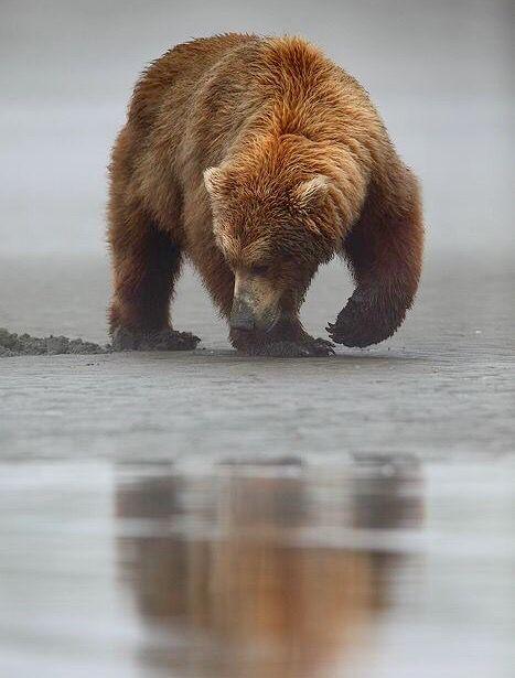 Brown Bear, Alaska.