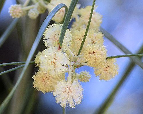 Acacia Stenophylla Shoestring Acacia Garden Projects Acacia Flowers