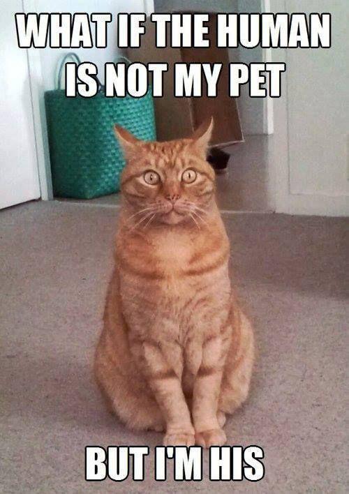 9db93e60997ec8b7c9fdf11506523f59 orange cat what if i'm the pet? catlover cats funny rascal,Cat Lover Meme