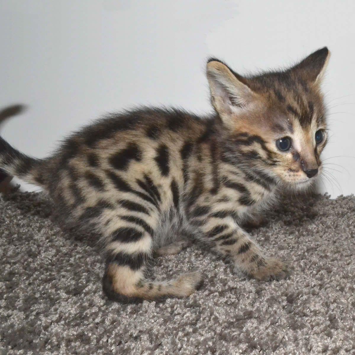 F2 Savannah Kittens Just Starting To Play Bengalen Dieren