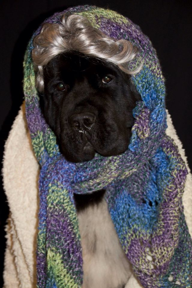 Akchalloween Notta Bear Newfoundlands Shellbea All Dressed Up As