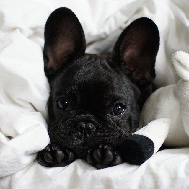 Big Ears Puppy Frenchie French Bulldog Need Cute
