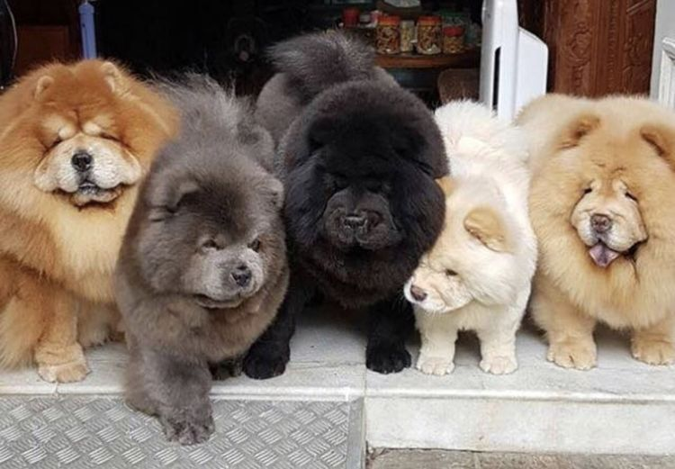 I Want Them All Chow Rainbow Chow Chow Puppy Fluffy Dogs