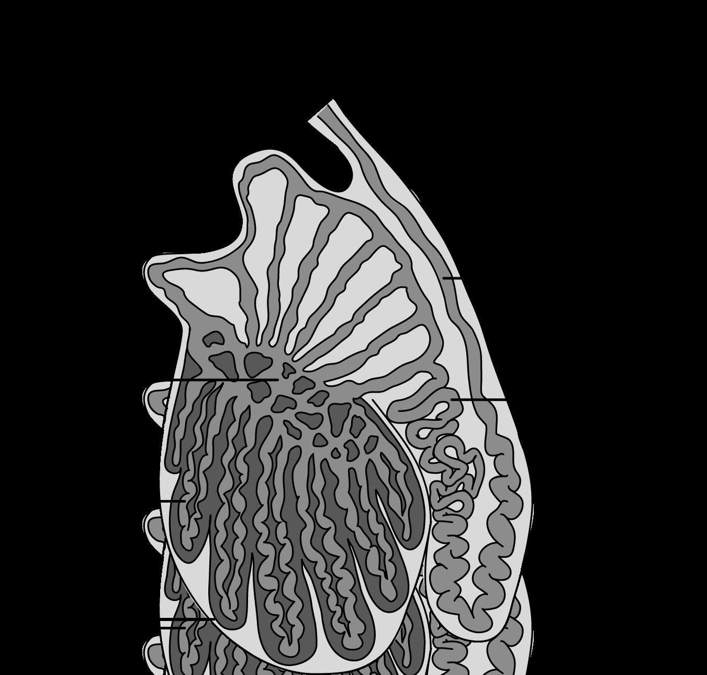 Anatomie et physiologie du testicule -- STRUCTURE / FONCTION ...