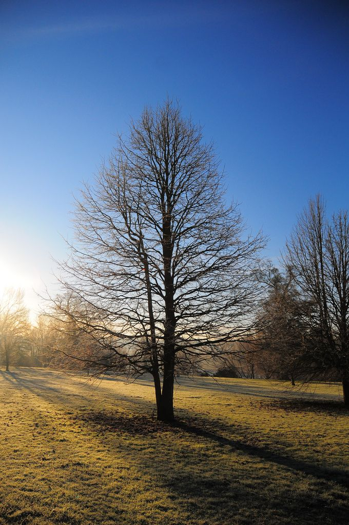 Tree on a frosty morning at Mote Park in Maidstone