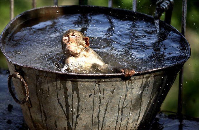 Este mono decidió refrescarse en el agua de un templo hindú en Jammu debido al intenso verano que azota la zona.