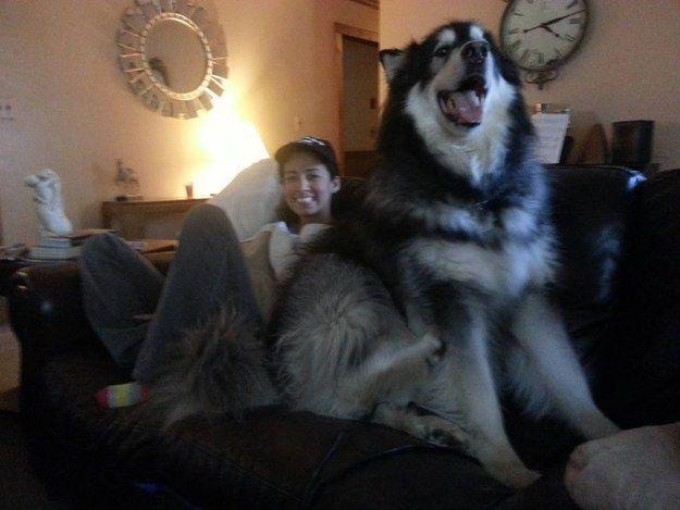 Le chien qui aime juste regarder un peu la télé.