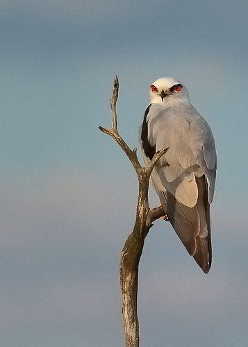 Black-shouldered Kite, Elanus axillaris