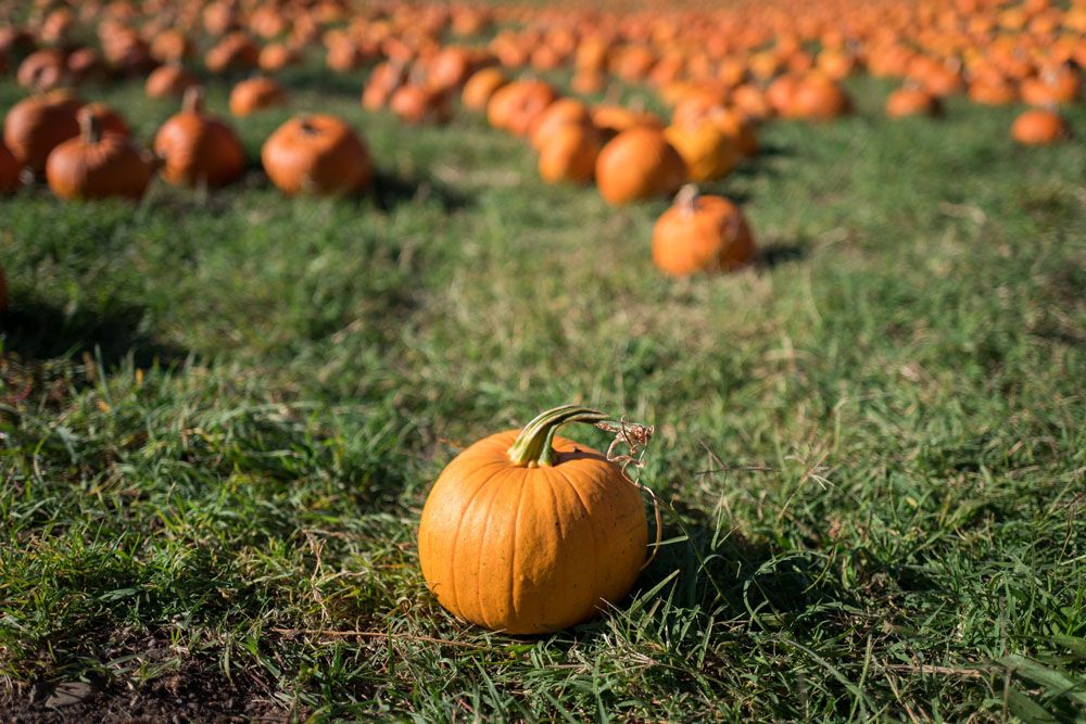 Best pumpkin patches in san diego best pumpkin patches