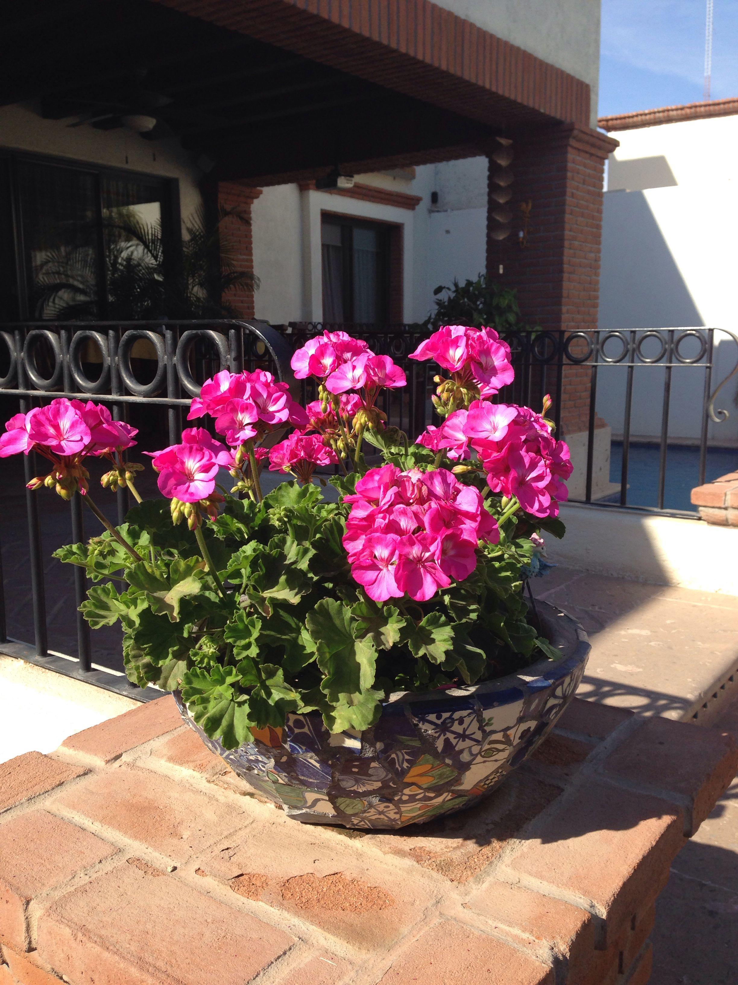 Flores: geranios