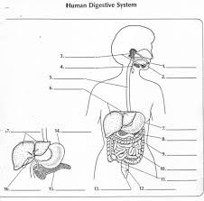 Related image | Digestive system diagram, Human anatomy chart