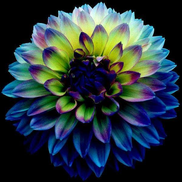 Worldloveflowers Dahlia Fleur Couleur Meanings Bleu Et Vert Parfait Pour Les Occasions Impliquant De Nou Photographie De Fleurs Fleurs Uniques Belles Fleurs