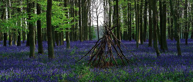 A Carpet of English Bluebells - Hertfordshire