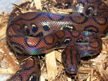 There Are 9 12 Subspecies Of Rainbow Boas But Not All Of Them Are