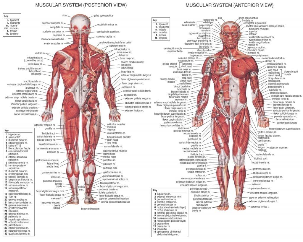 Human Abdominal Muscles Human Abdominal Muscles Human Anatomy ...