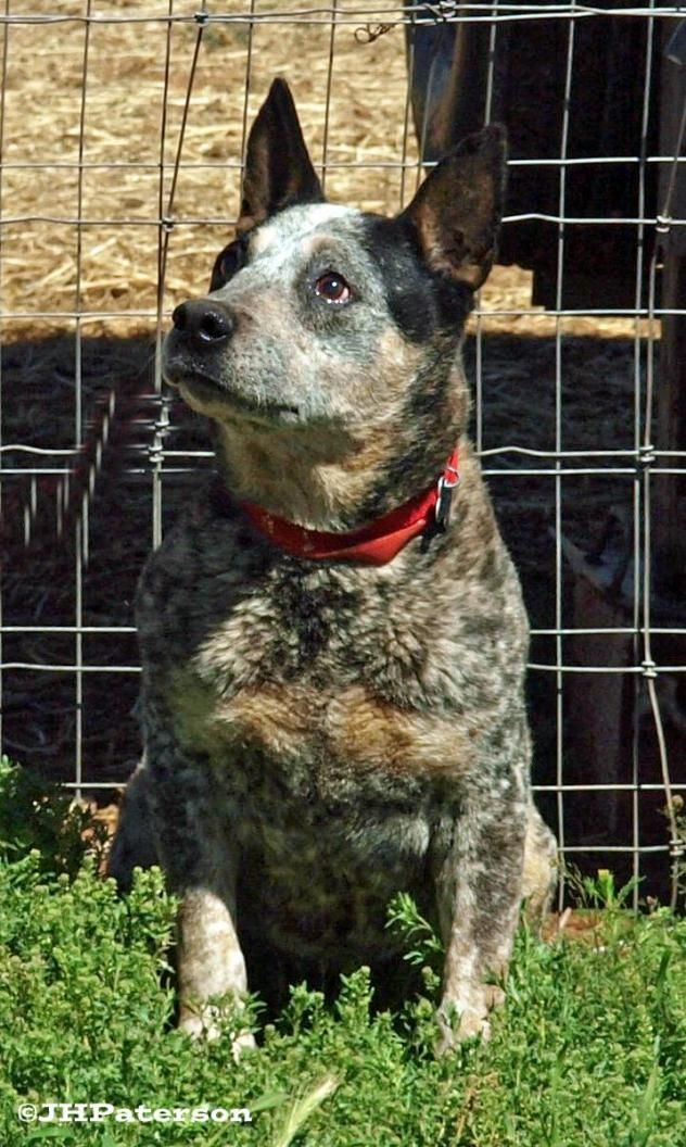 Adopt McFly on Australian cattle dog, Animals, Dogs
