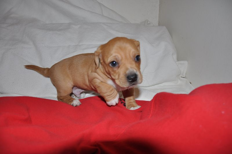 Adopt jager on dalmatian rescue puppies chihuahua mix