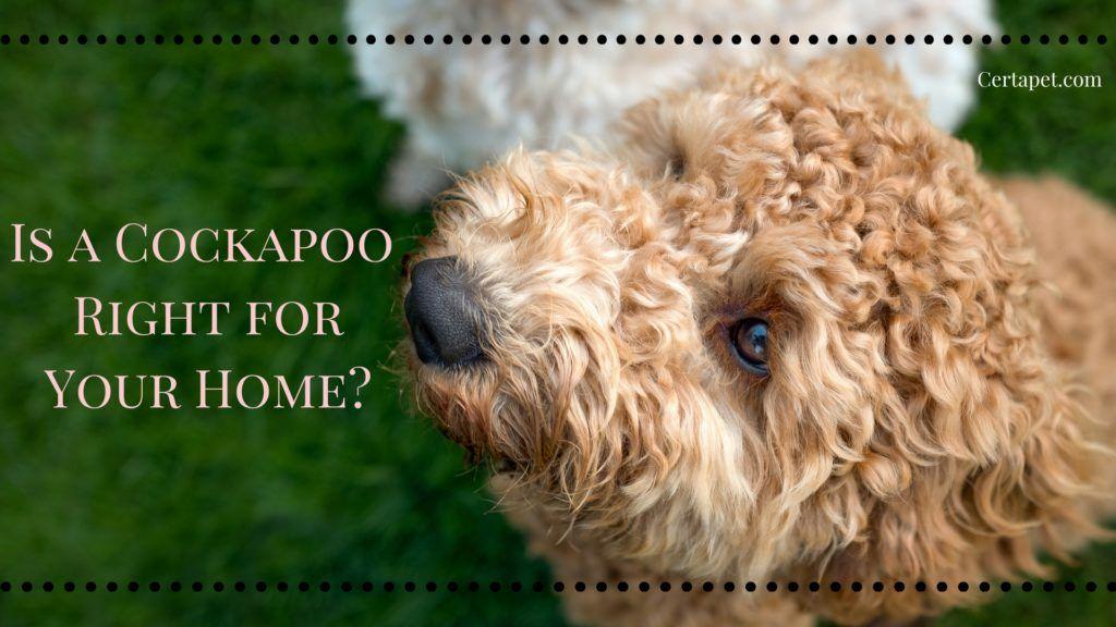 Is A Cockapoo Right For Your Home Cockapoo Cockapoo Temperament Pup