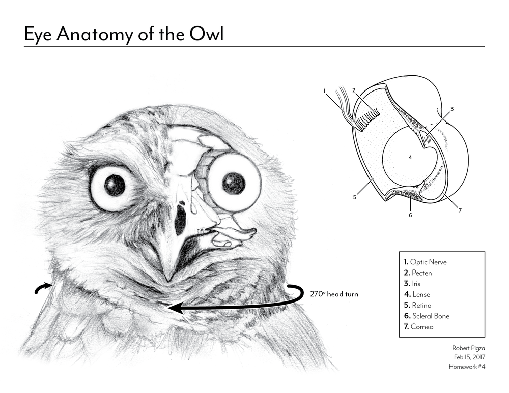 Image result for owls anatomy scientific | Owling | Pinterest