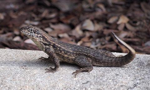 Invasive Lizards In Florida Lizard Florida Iguana