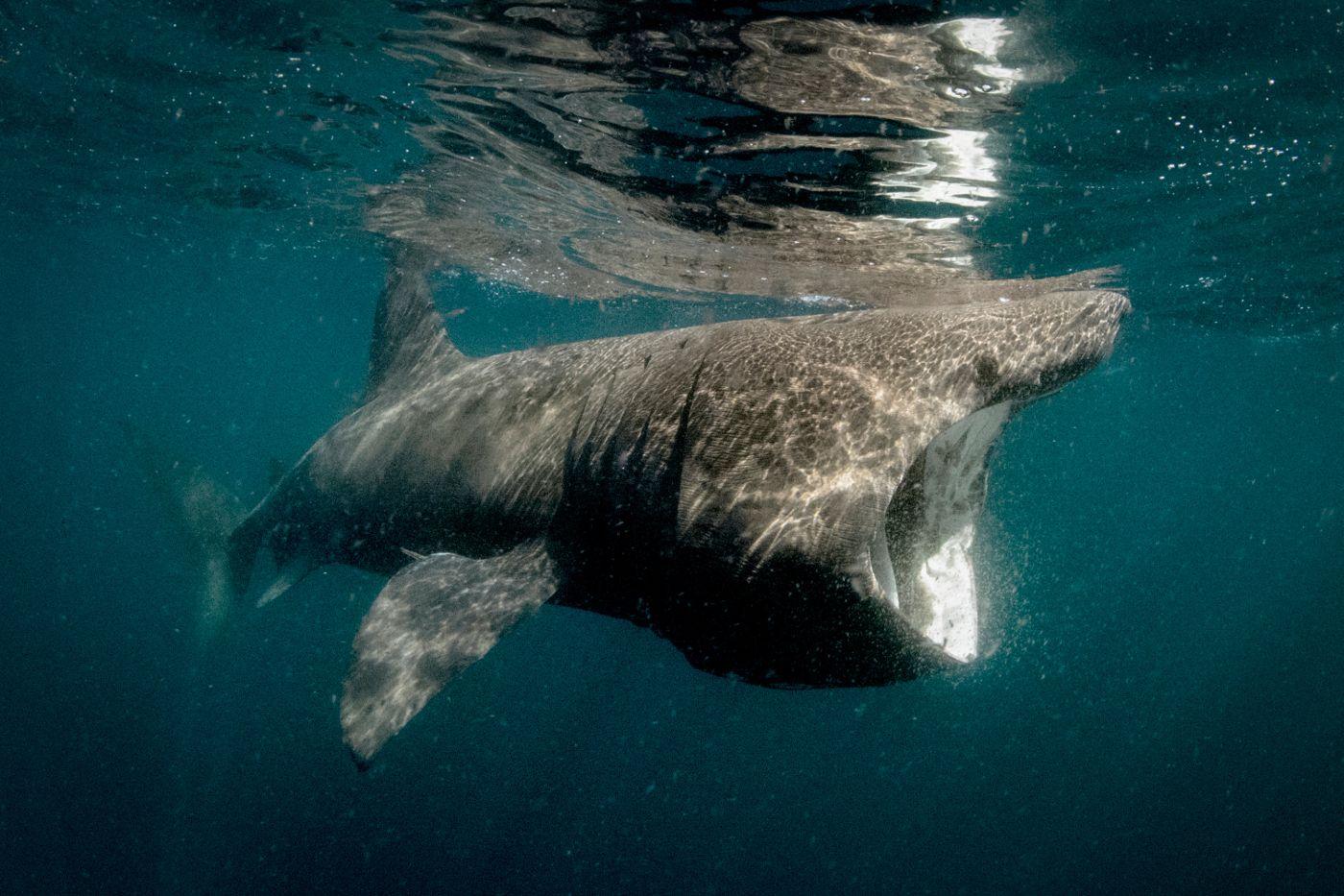 расскажут как фото гигантских акул сделать