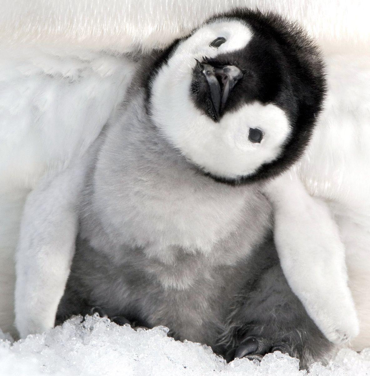 Even Cuter Baby Penguin