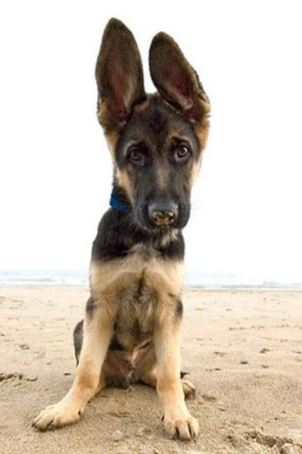 Gsd Puppy Ears Earnest Sheppieface The Cutest Puppies