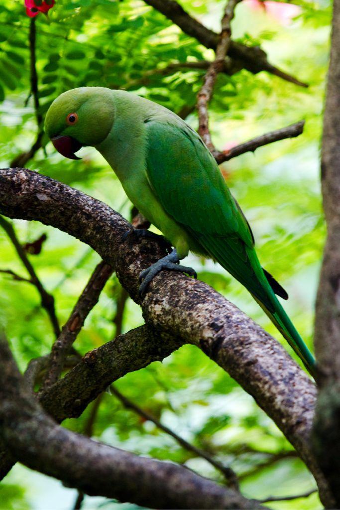 Layard S Parakeet Stamps Mainly Images Gallery Format Parakeet Pet Birds Stamp