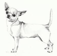 Amarant Chihuahua Kennel Illustrated Chihuahua Standard