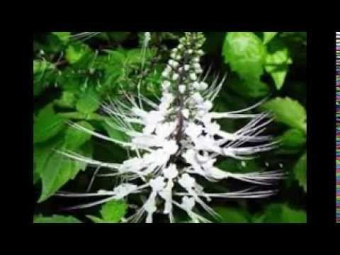 Timbuh Tumbuhan Yang Dapat Menyembuhkan Diabetes