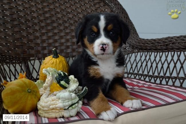 Bernese Mountain Dog Puppy For Sale In Ohio Dogs Puppies