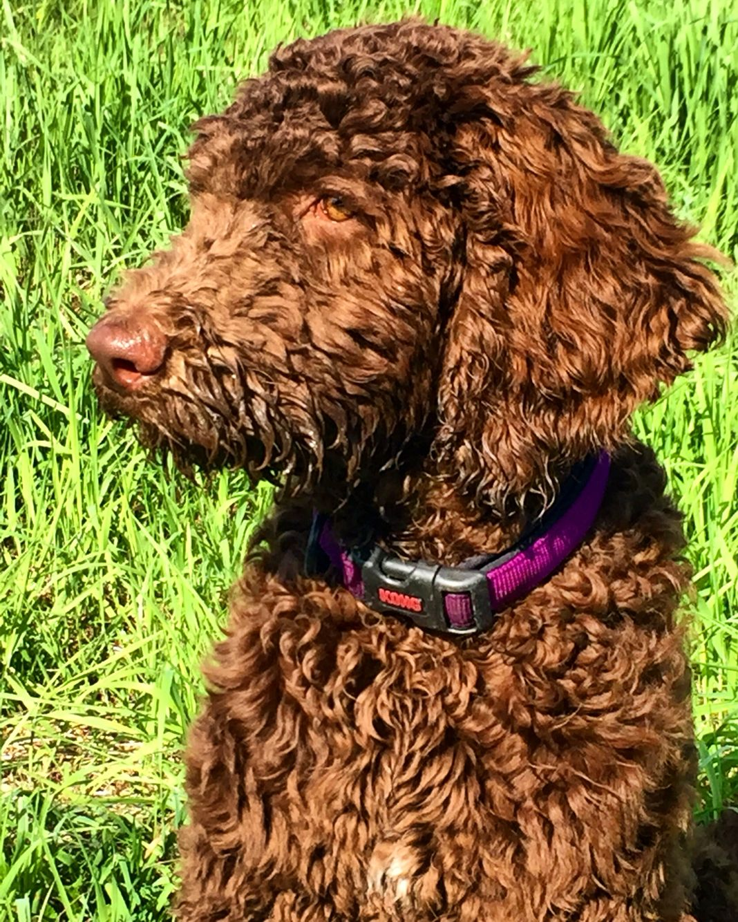 My Chocolate Standard Poodle Riggins Dog Haircuts
