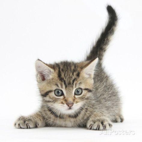 Cute Playful Tabby Kitten Stanley 6 Weeks Photographic Print By Mark Taylor Tabby Kittens For Sale Kittens Kitten Photos