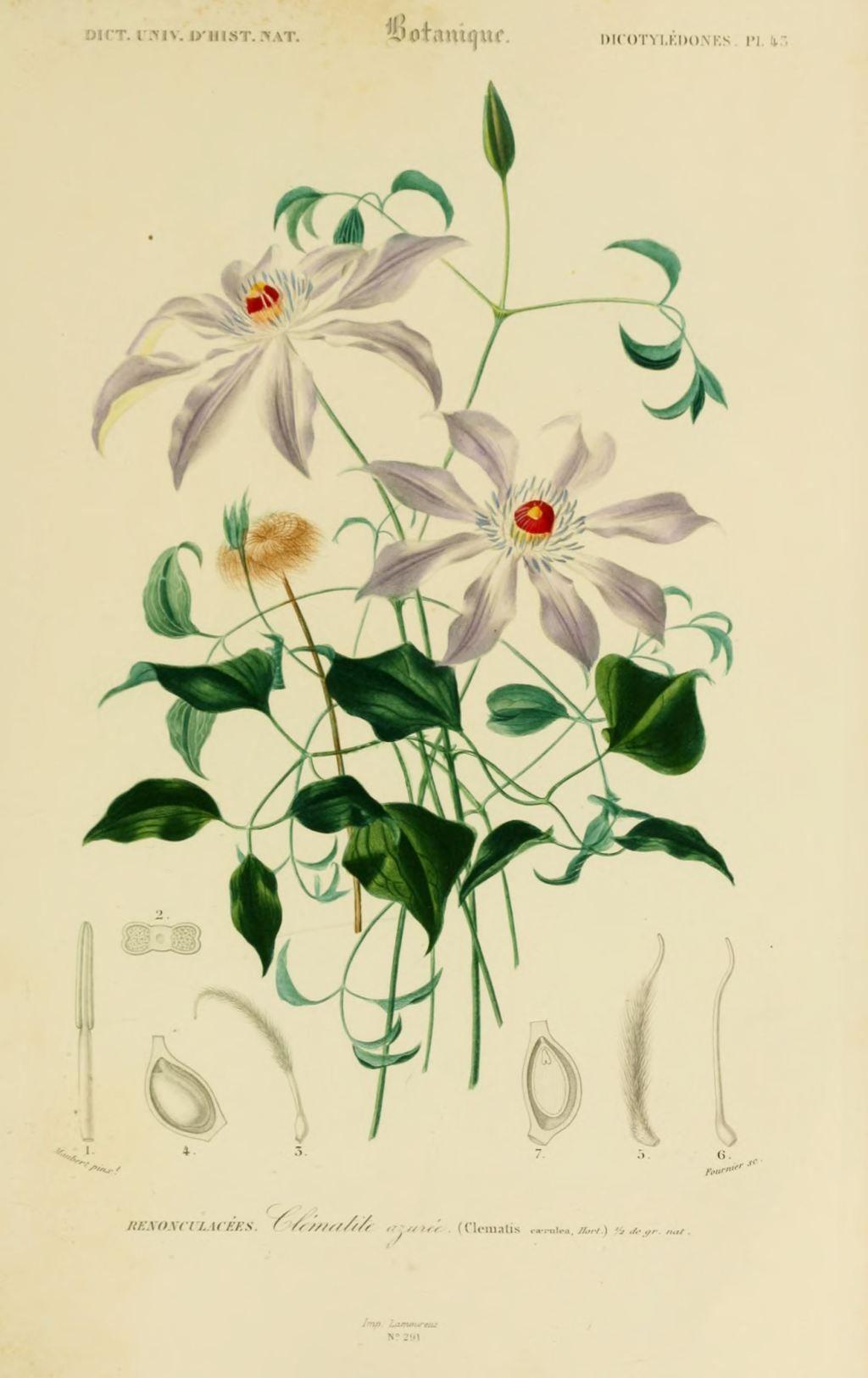 Img dessins couleur fleurs dessin botanique de fleur 0135 for Botanic fleurs artificielles