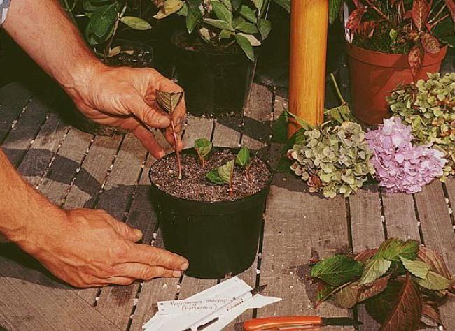 les cinq tapes pour bouturer l 39 hortensia jardin boutures. Black Bedroom Furniture Sets. Home Design Ideas