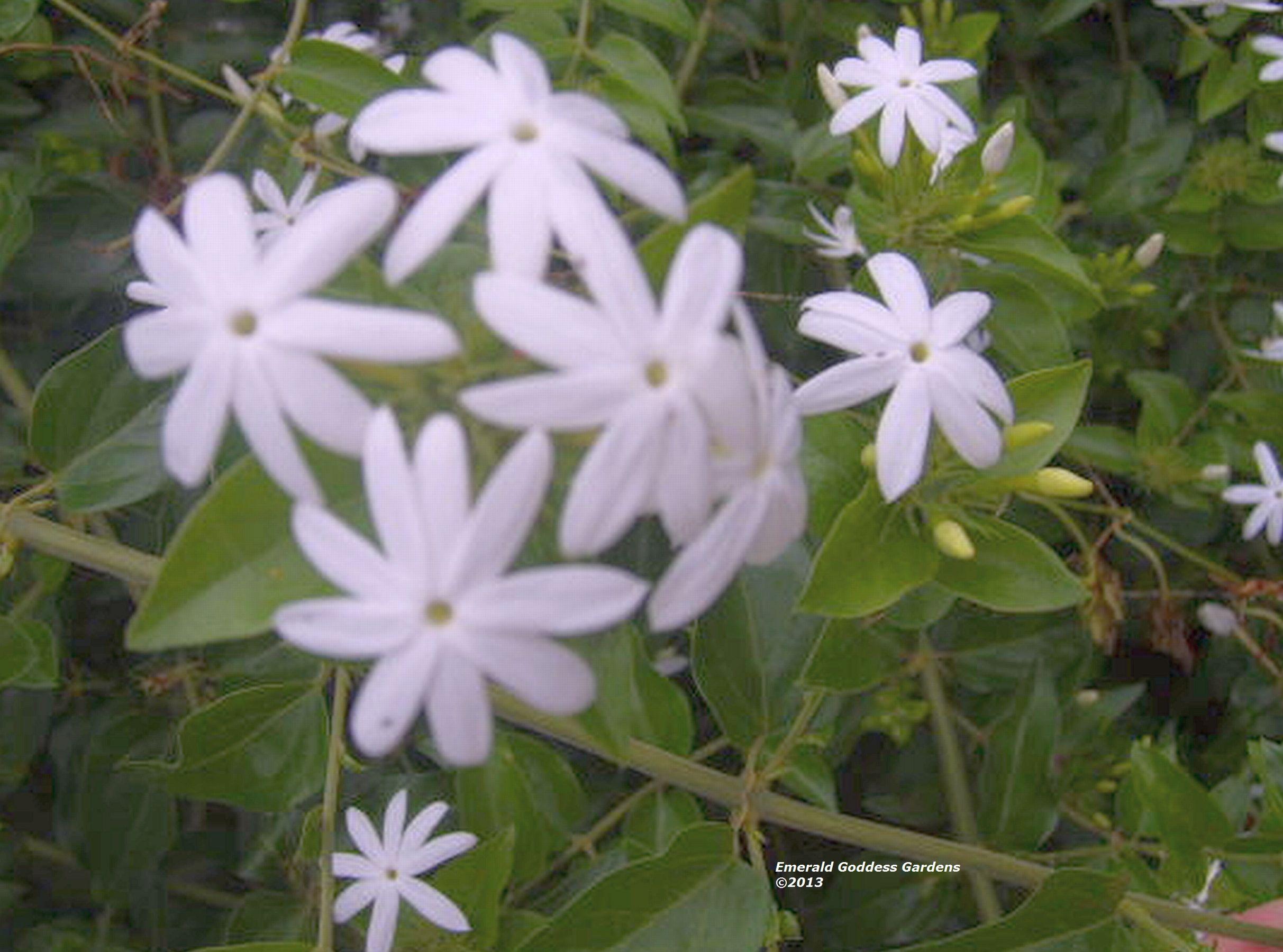 Jasmine multiflorum plant downy white fragrant flowers as plantas jasmine multiflorum plant downy white fragrant flowers izmirmasajfo Gallery
