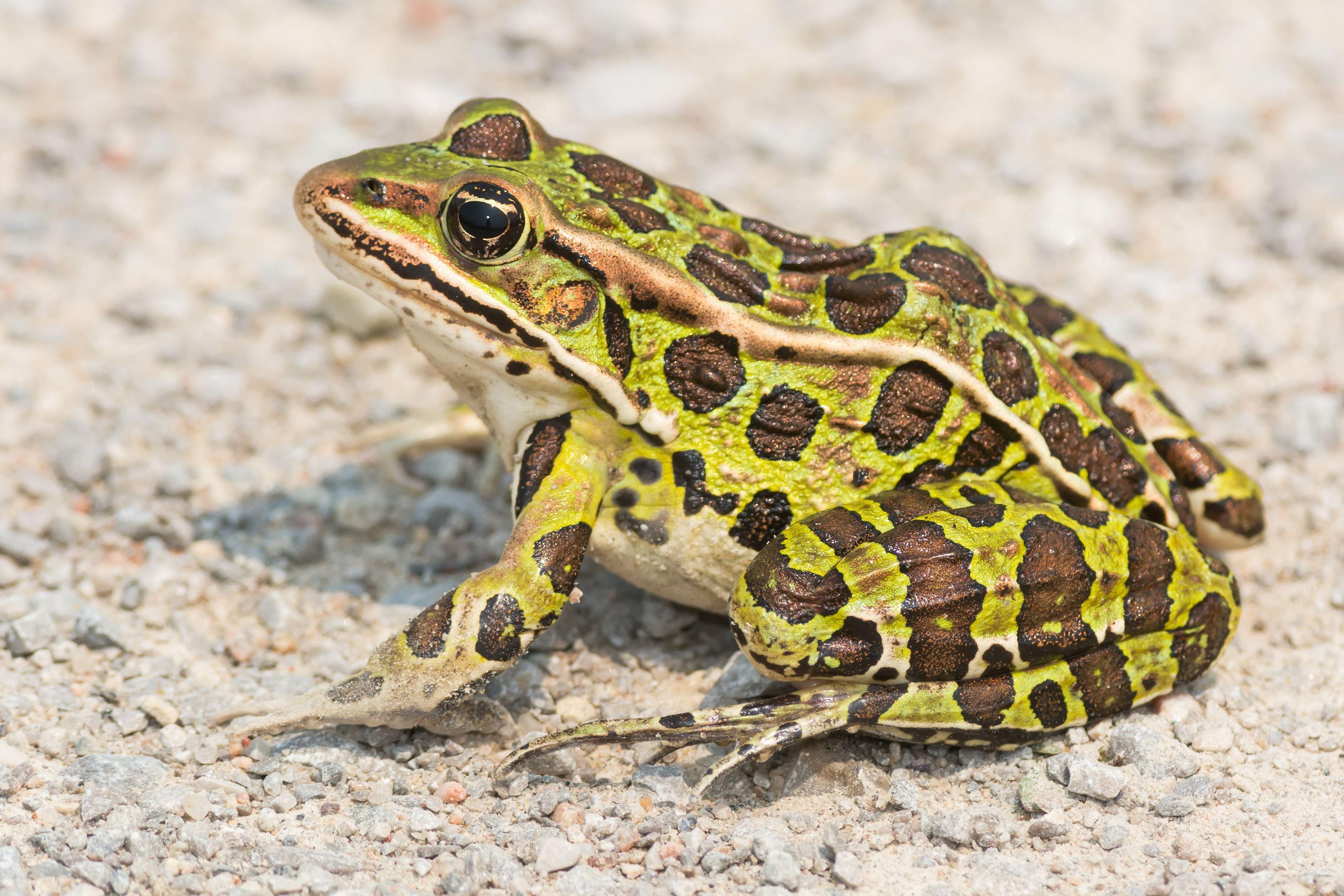 Loading in 2020 Frog facts, Frog, Frog wallpaper