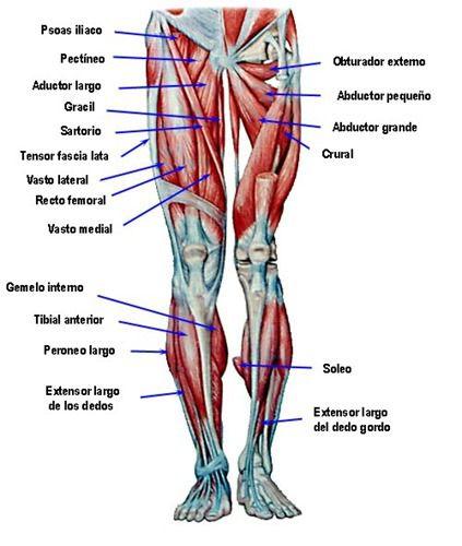 Atelier de Dibujo :: Anatomía I: Estructura Corporal | Anatomía ...