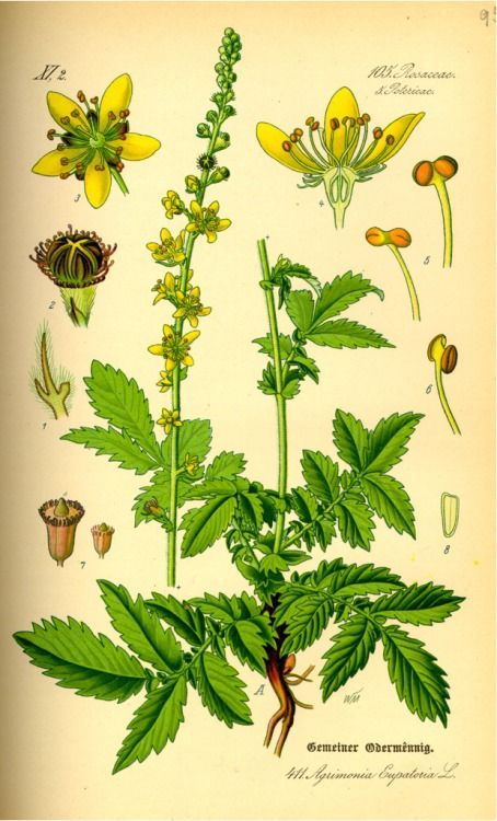 Agrimony is a common perennial weed. Use the entire herb in a dream pillow, or as a wash or oil to overcome fear, ward off negative emotions and hostile spells and increase effectiveness of all forms of healing.