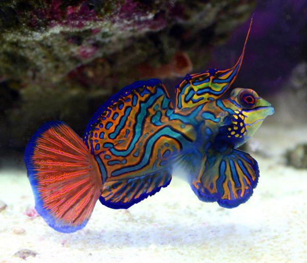 stripped mandi ~ sea horse safe fish~ rating 1