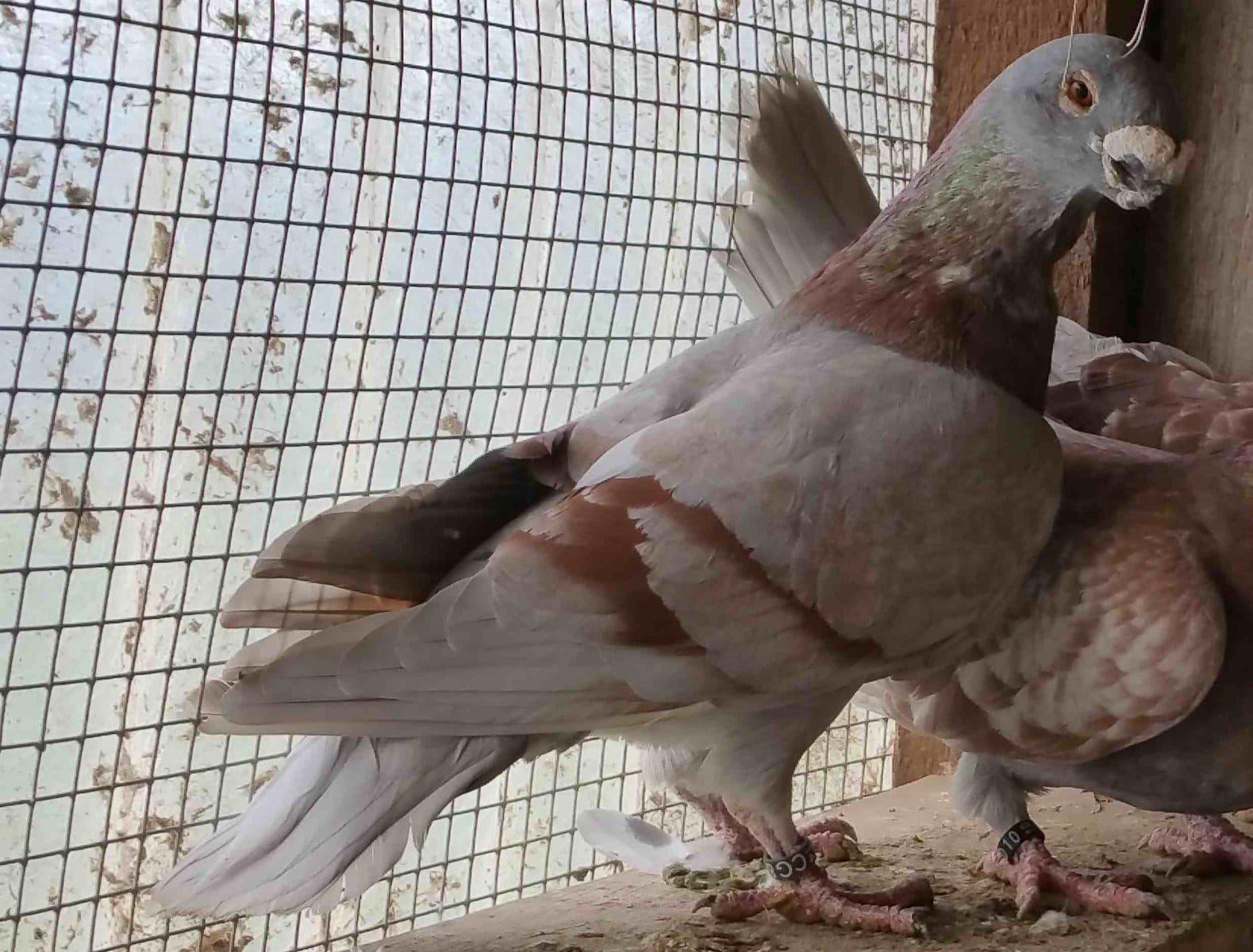 Show Antwerp (Trossingen) - Sonstige Vogelarten - Deine-Tierwelt.de
